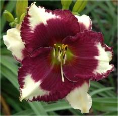 Daylily Garden 64