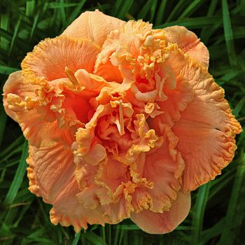 Daylily Garden 75