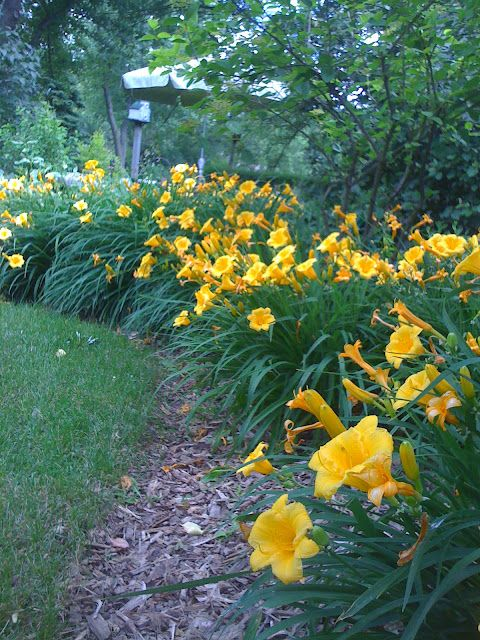 Daylily Garden 78