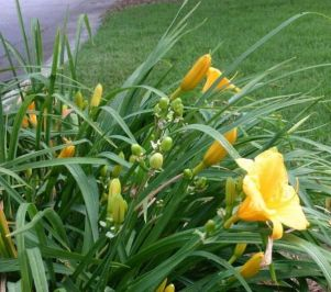 Daylily Garden 8