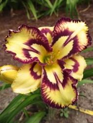 Daylily Garden 82