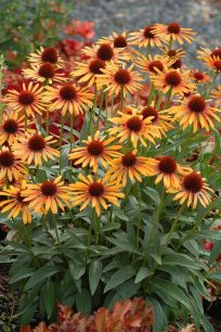 Fall Flowers To Plant 7