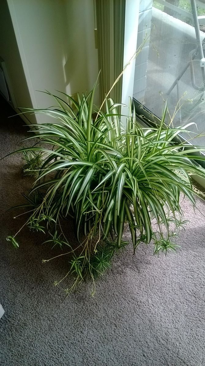 best 10 spider plants ideas decoratoo. Black Bedroom Furniture Sets. Home Design Ideas