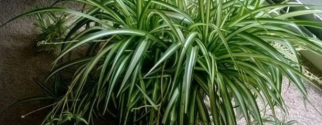 Spider Plant Care 13