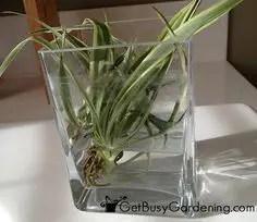 Spider Plant Care 3