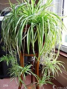 Spider Plant Care 5