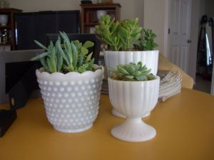 Succulents 15