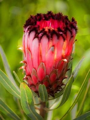 Protea Flower 16
