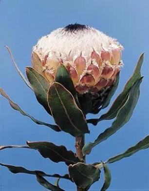 Protea Flower 17