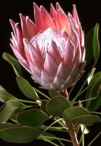 Protea Flower 25