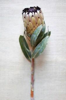 Protea Flower 42