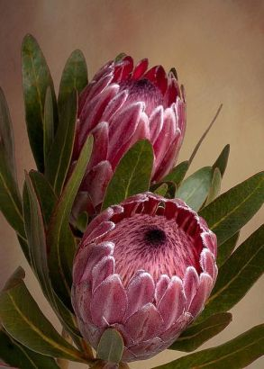 Protea Flower 7