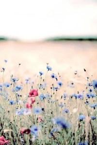 Wildflower Field 1