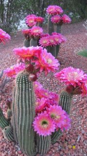 Cactus Landscaping 2