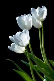 White Tulips 10