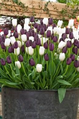 White Tulips 14