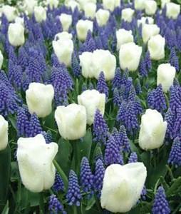 White Tulips 16