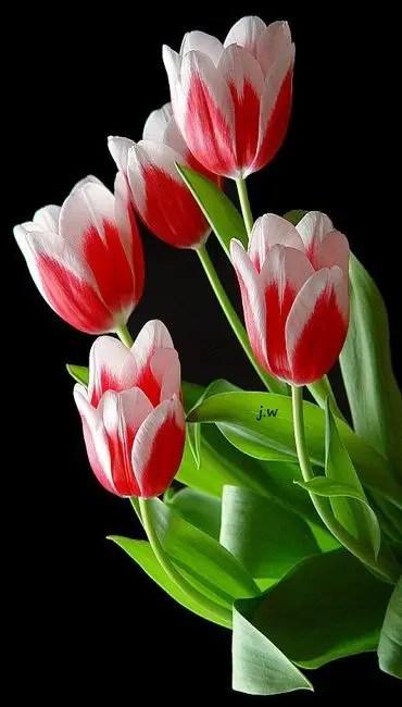 White Tulips 24