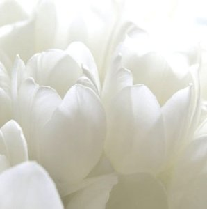 White Tulips 30