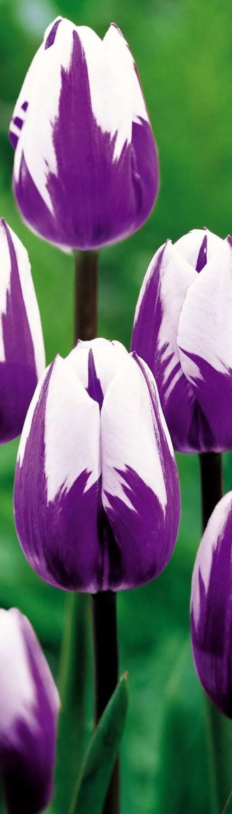 White Tulips 32