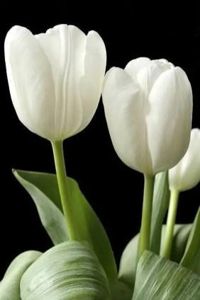 White Tulips 4