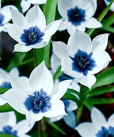 White Tulips 42