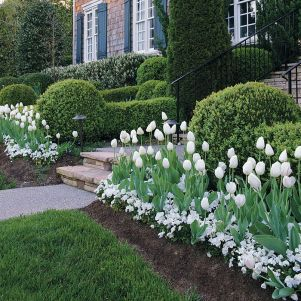 White Tulips 43