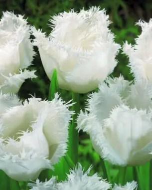 White Tulips 5