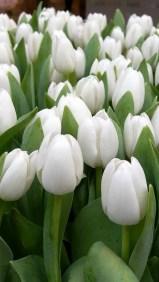 White Tulips 8