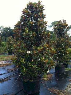 45 Gallon Little Gem Magnolia Tree