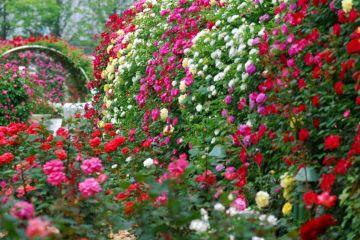 Awesome Garden Rose Flower