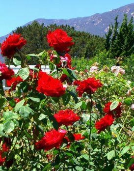 Awesome Rose Garden