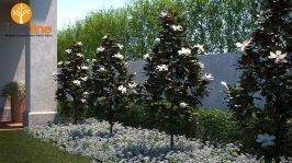Beautiful Little Gem Magnolia Tree