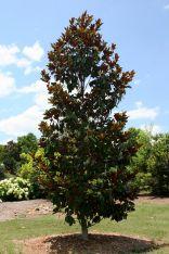 Dwarf Little Gem Magnolias Tree