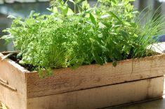 Growing Herbs Container Garden