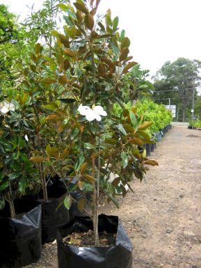 Little Gem Magnolia Hedge Ideas