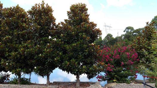 Little Gem Magnolia Tree