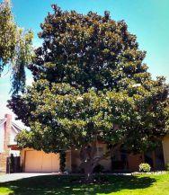 Littles Magnolia Tree