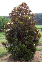 Magnolia Grandiflora Little