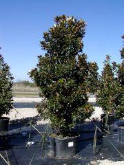 Magnolia Tree Little Gem
