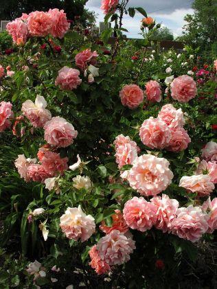 Most Beautiful Rose Garden