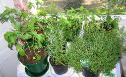 Organic Indoor Herb Garden