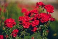Rose FLower in Garden
