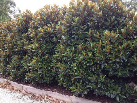Tree Little Gem Magnolia Hedge