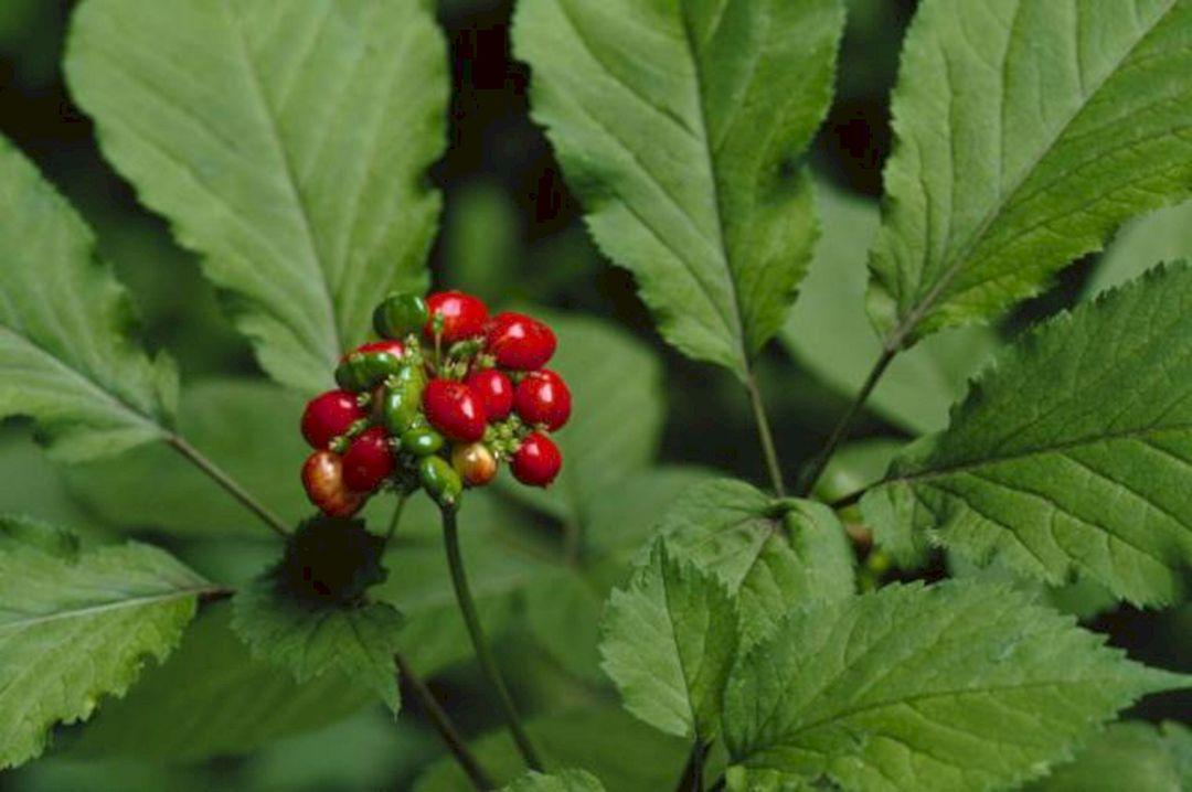 American Ginseng Plant Identification