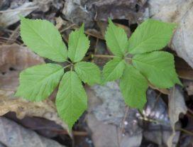 Ginseng Leaf Identification