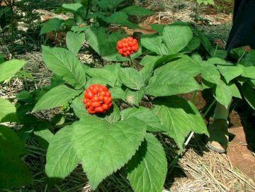 Missouri Ginseng Plant