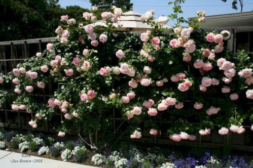 Eden Climbing Rose Design