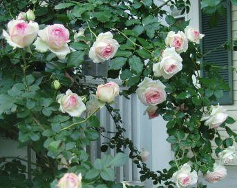 Eden Climbing Roses Design
