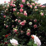 Eden Rose Design